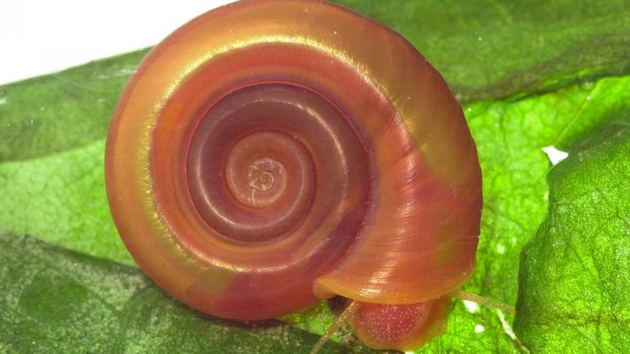 The freshwater snail Biomphalaria glabrata, found in South America and parts of the Caribbean, can act as a host to the schistosomiasis parasite