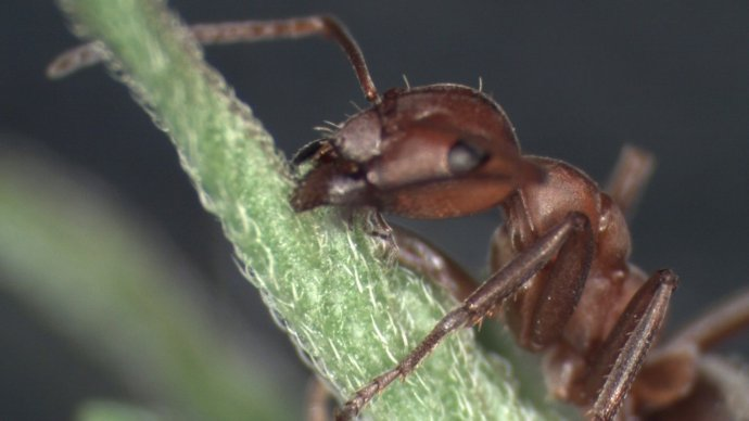 Parasites command their ant hosts to attach themselves to the top of vegetation. Image courtesy of Douglas Colwell