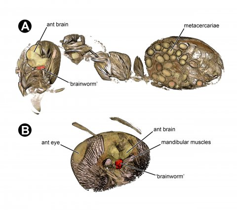 (A) 3D sagittal section of an ant infected with Dicrocoelium dendriticum, showing the parasite ('brainworm´) in the brain and the encysted infective forms of the parasite in the ant abdomen. (B) 3D model of the interior of an ant head showing the parasite in the brain.