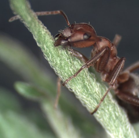 Parasites command ants to attach themselves to the top of vegetation. Image courtesy of Dr Douglas Colwell