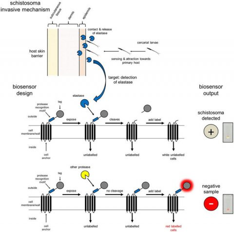 Detection of Schistosomes via the presence of the elastase activity. The bioreporters shown are whole-cell bioreporters in that they are part of the cell-surface of bacterial cells. Detection of elastase results in cutting of the bioreporter from the surface of the bacterial cell, and a 'loss of colour'. Ref: Webb et al (2016), Scientific Reports, 6:24725. DOI: 10.1038/srep24725. Image used under licence CC BY 4.0.