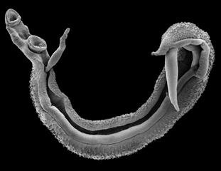 Scanning Electron Image of a Schistosome worm pair. Image credit: Trustees of the Natural History Museum
