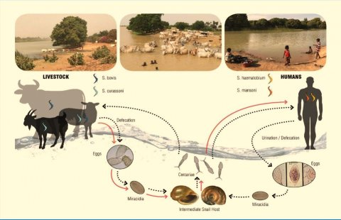 Life cycle of Schistosoma parasites in West Africa. Credit Lucy Yasenev.