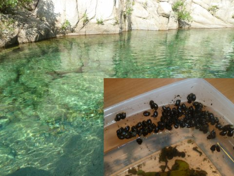 Schistosomiasis outbreak in Corsica and genomic analysis Further attention was brought to the hybridisation between S. haematobium and S. bovis when, in 2014, tourists unexpectedly caught urogenital schistosomiasis whilst swimming in the picturesque natural pools on the island of Corsica, France. Transmission was enabled by the presence of the snail Bulinus truncatus, a snail host for African schistosomiasis, being endemic in the Mediterranean and the parasites were introduced by the regular migration of pe