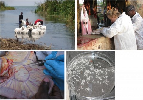 Humans and animals sharing the same schistosomiasis transmission site in Senegal (Photo Tine Huyse, African Museum, Belgium) and fieldwork conducted in 2007 looking for schistosomes in slaughtered livestock.