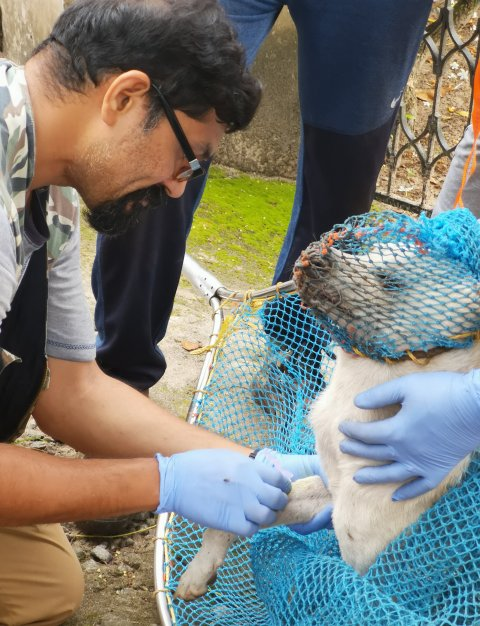Sreejith Radhakrishnan collecting a blood sample from a free-ranging / stray dog in Kerala. Image courtesy S. Radhakrishnan