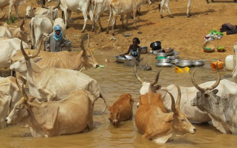 Analysis of communities in Senegal show high schistosomiasis infection rates in both humans and livestock
