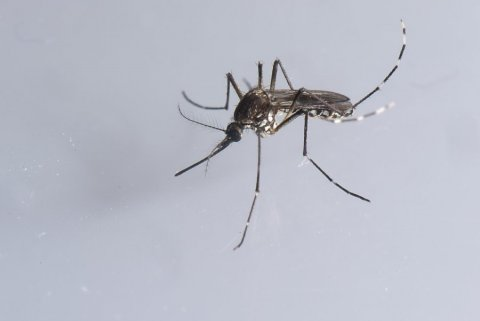 Aedes aegypti is particularly concerning, because, while other mosquito species will bite whatever is convenient, Aedes aegypti prefer to bite humans. Credit: Christian Sinibaldi