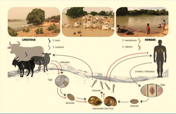 Lessons Learned from Hookworm and Schistosomiasis Vaccine